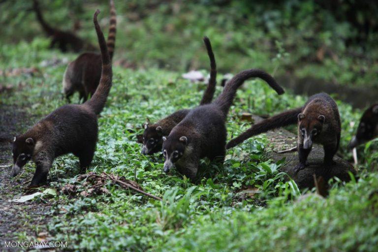 Un grupo de coatíes de nariz blanca (Nasua narica). Foto: Rhett A. Butler / Mongabay