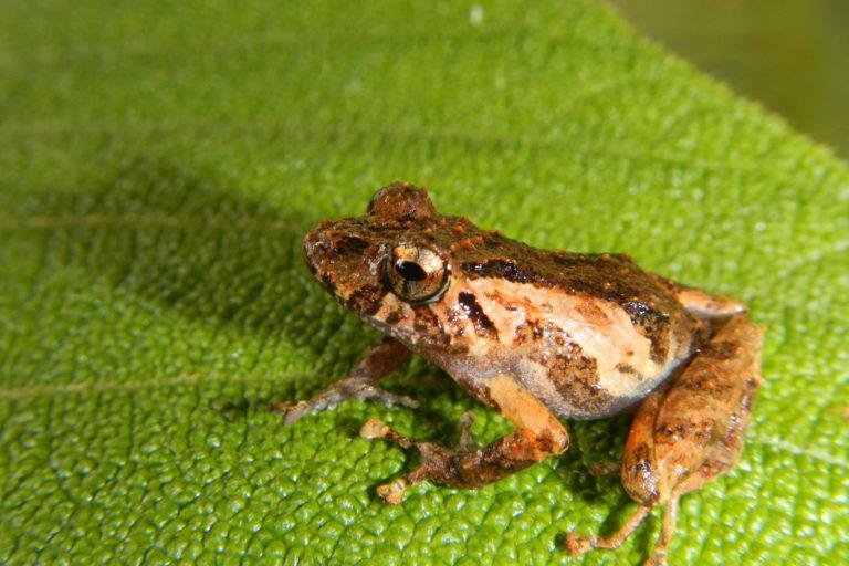 Pristimantis ashaninka, uno de los anfibios descubiertos por Lehr en el Bosque de Protección Pui Pui. Foto: Edgar Lehr.