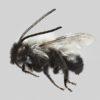 La abeja chilena Alloscirtetica rufitarsis vive en prácticamente todo el territorio nacional. Foto: Patricia Henríquez