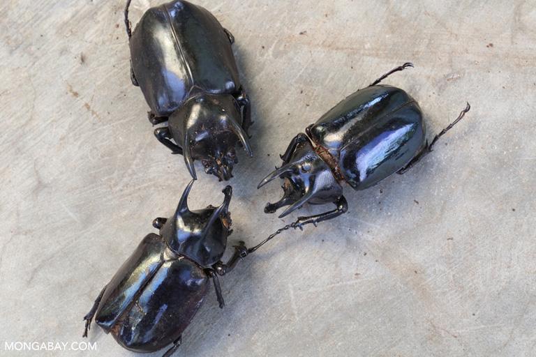 Escarabajos rinoceronte. Foto: Rhett A. Butler / Mongabay.