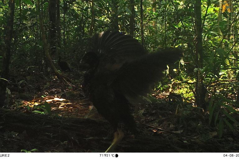 Aguilucho negro (Buteo albonotatus). Foto: Parques Nacionales Naturales de Colombia, Conservación Internacional y Amazon Conservation Team.