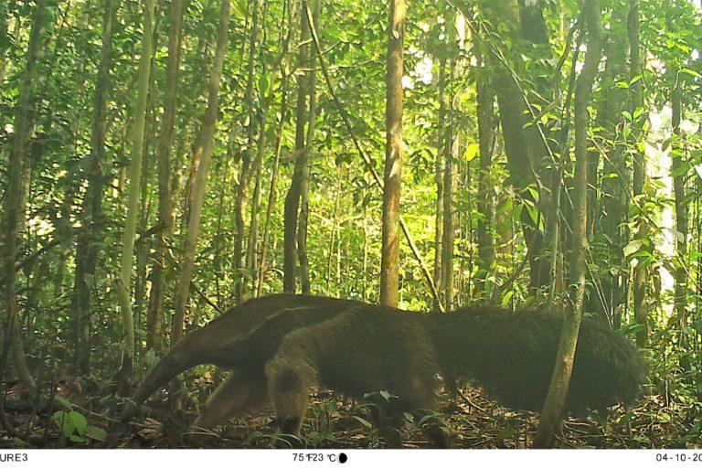 Oso hormiguero gigante (Myrmecophaga tridactyla). Foto: Parques Nacionales Naturales de Colombia, Conservación Internacional y Amazon Conservation Team.