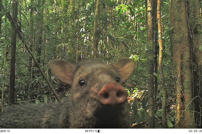 Saino o puerco de monte (Pecari tajacu). Foto: Parques Nacionales Naturales de Colombia, Conservación Internacional y Amazon Conservation Team.