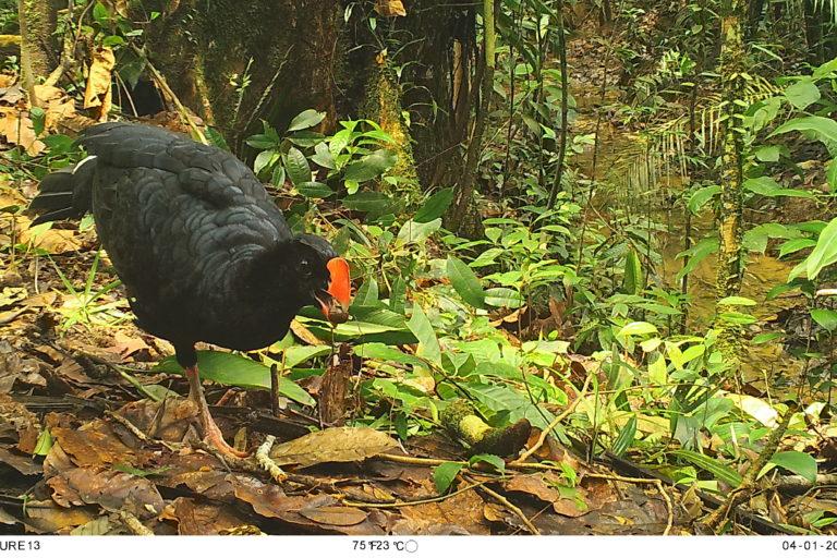 Paujil (Mitu tuberosum). Foto: Parques Nacionales Naturales de Colombia, Conservación Internacional y Amazon Conservation Team.