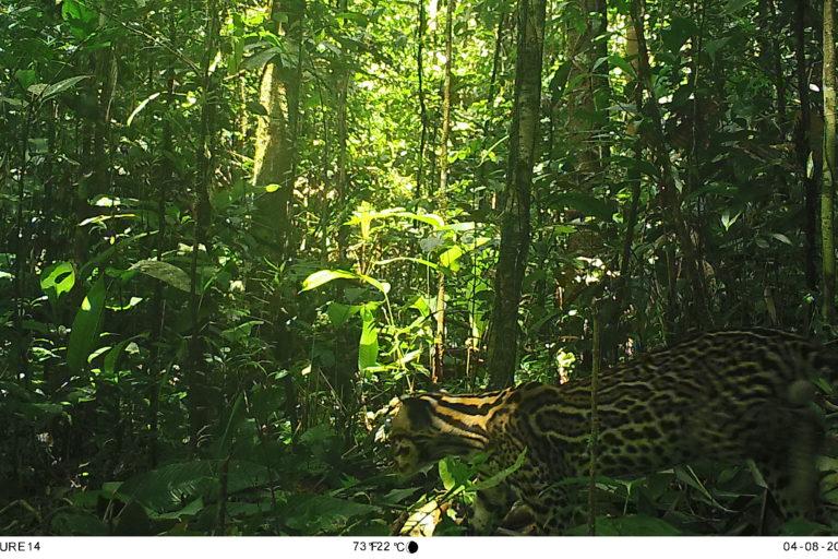 Tigrillo en el Parque Nacional Natural Río Puré. Foto: Parques Nacionales Naturales de Colombia, Conservación Internacional y Amazon Conservation Team.