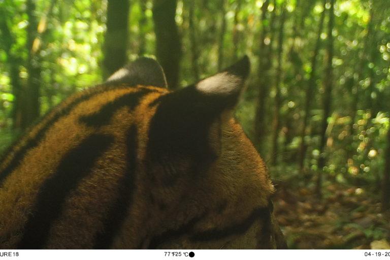 Tigrillo (Leopardus tigrinus). Foto: Parques Nacionales Naturales de Colombia, Conservación Internacional y Amazon Conservation Team.