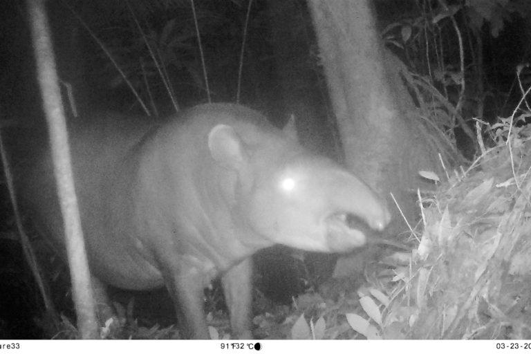 Danta (Tapirus terrestris). Foto: Parques Nacionales Naturales de Colombia, Conservación Internacional y Amazon Conservation Team.