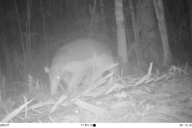 Ocarro o armadillo gigante (Priodontes maximus). Foto: Parques Nacionales Naturales de Colombia, Conservación Internacional y Amazon Conservation Team.