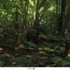 Ulama, Taira (Eira barbara). Foto: Parques Nacionales Naturales de Colombia, Conservación Internacional y Amazon Conservation Team.