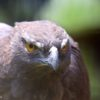 Un águila-azor variable (Nisaetus cirrhatus). Foto: Rhett A. Butler / Mongabay