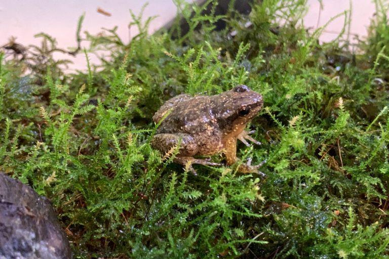La ranita de Mucuchíes (Aromobates zippeli) fue la especie más afectada durante el apagón. Foto: Enrique La Marca.