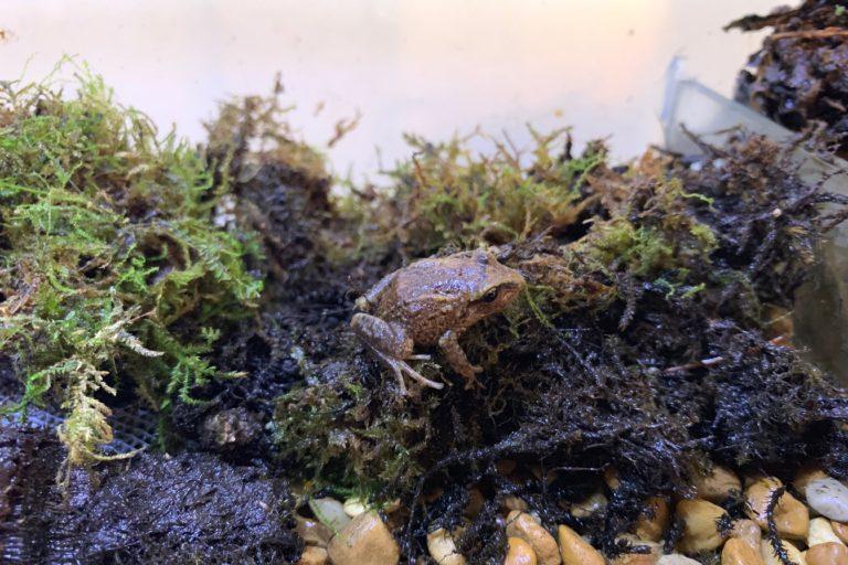 La ranita del teleférico (Pristimantis telefericus) es otra de las especies que se perdieron en el Centro de Conservación REVA. Foto: Enrique La Marca.
