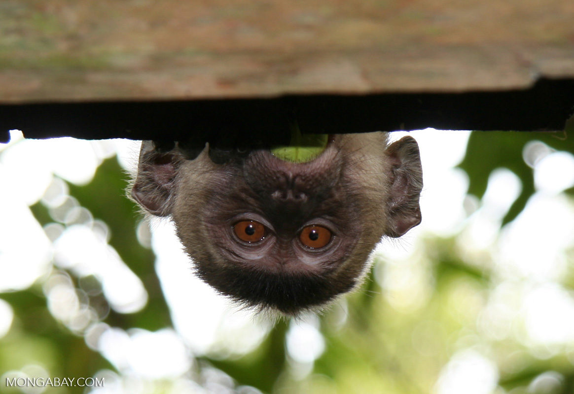 Un macaco cangrejero (Macaca fascicularis). Foto: Rhett A. Butler / Mongabay