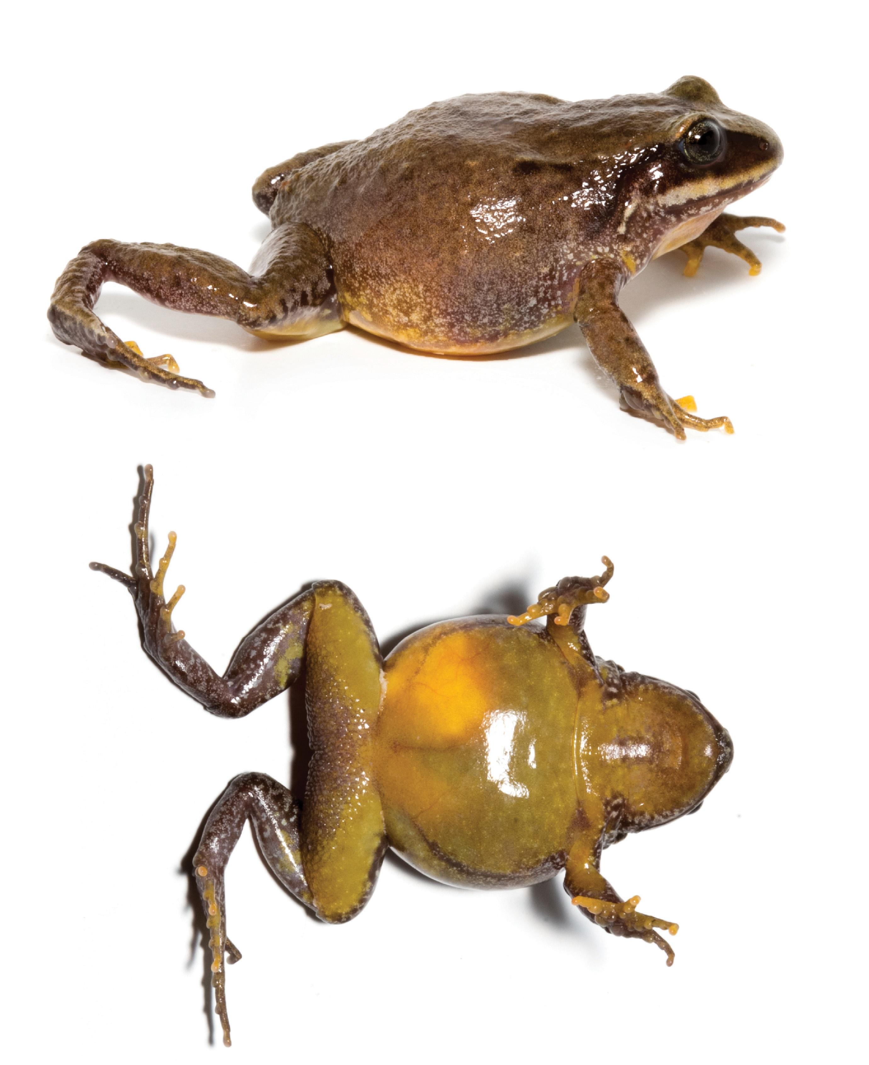 Lynchius parkery. Vista dorsal y vental de esta especie que habita entre Ecuador y Perú. Su nuevo registro muestra que la diversidad del género Lynchius está subestimada. Foto: Juan Carlos Sánchez-Nivicela.