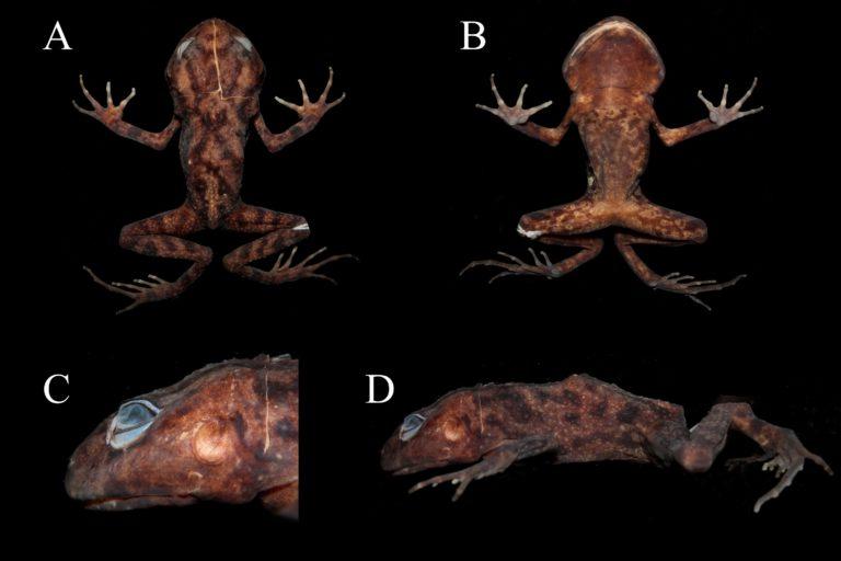 Lynchius megacephalus. A: Vista dorsal. B: vista ventral. C: vista en perfil de la cabeza. D: vista lateral. Foto: Juan Carlos Sánchez-Nivicela.