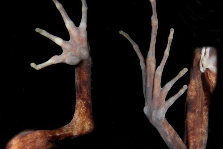 Vista ventral y dorsal de una mano de Lynchius megacephalus. Foto: Juan Carlos Sánchez-Nivicela.
