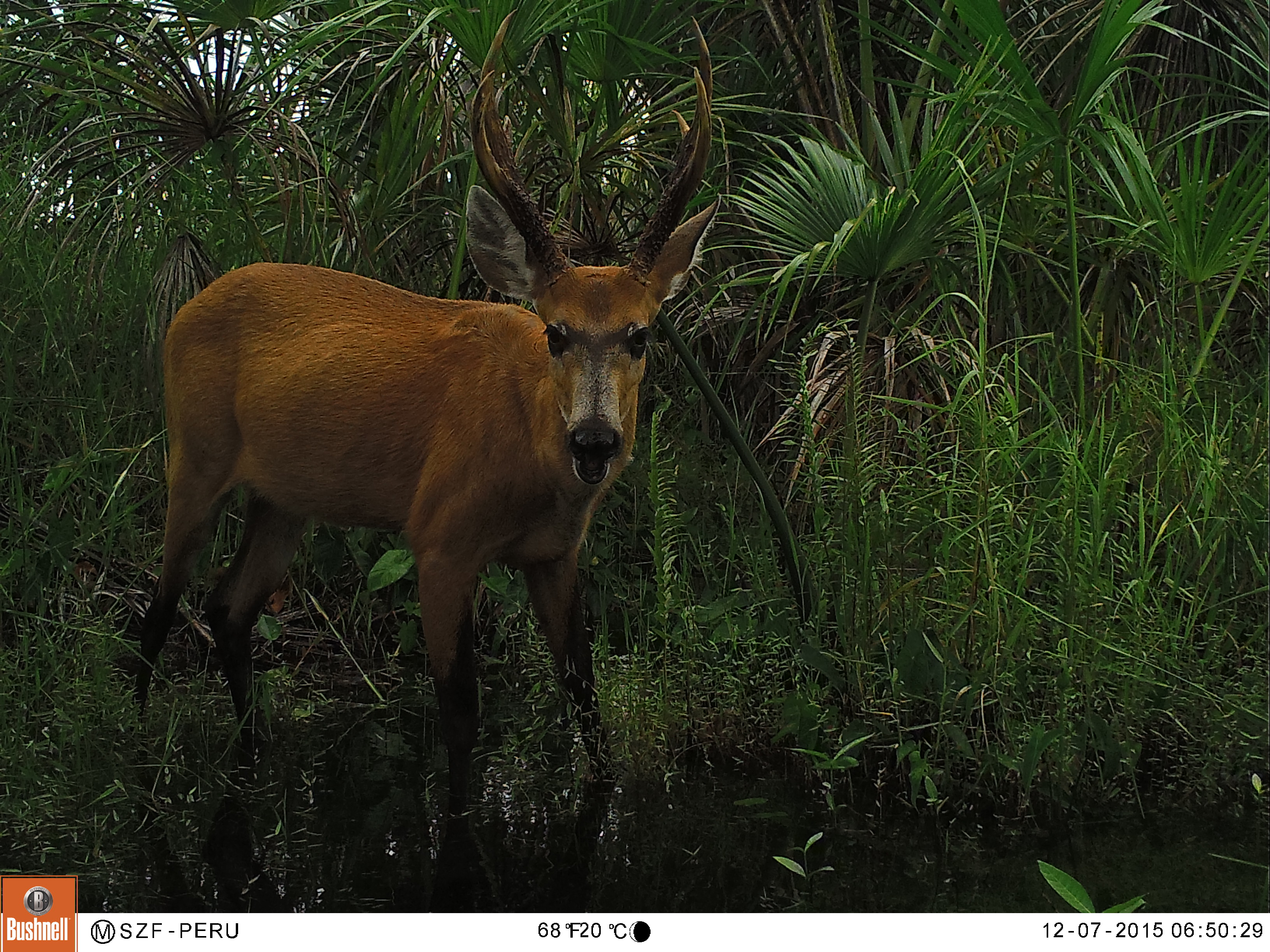 El ciervo de los pantanos, un mamífero que habita en las Pampas de Heath. Foto: FZS Perú.