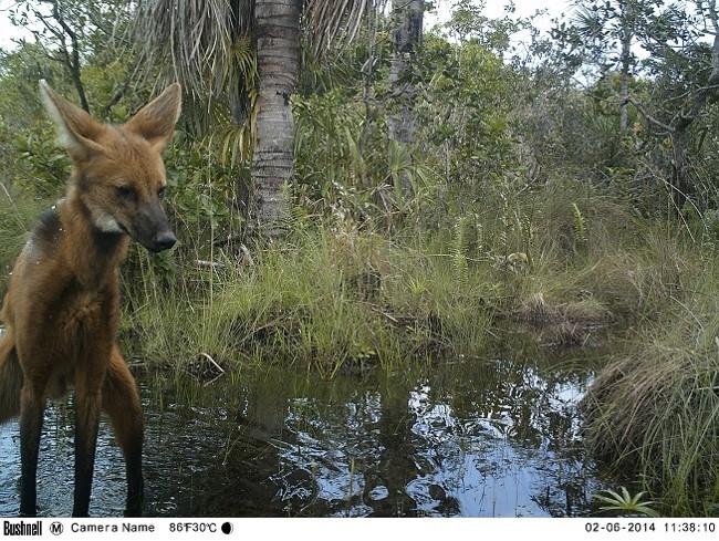 El lobo de crin es una especie emblemática de Bahuaja Sonene y actualmente se encuentra en peligro. Foto: FZS Perú.