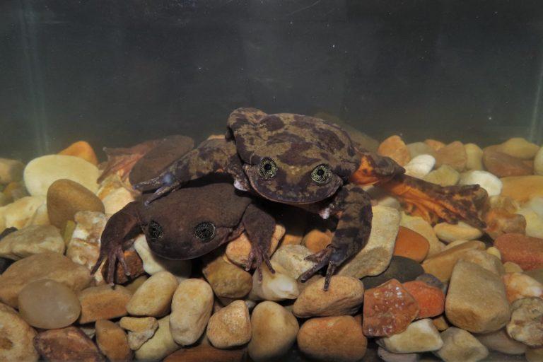 Romeo y Julieta es una pareja de ranas que enfrenta la extinción. Foto: Museo de Historia Natural Alcide d'Orbigny.