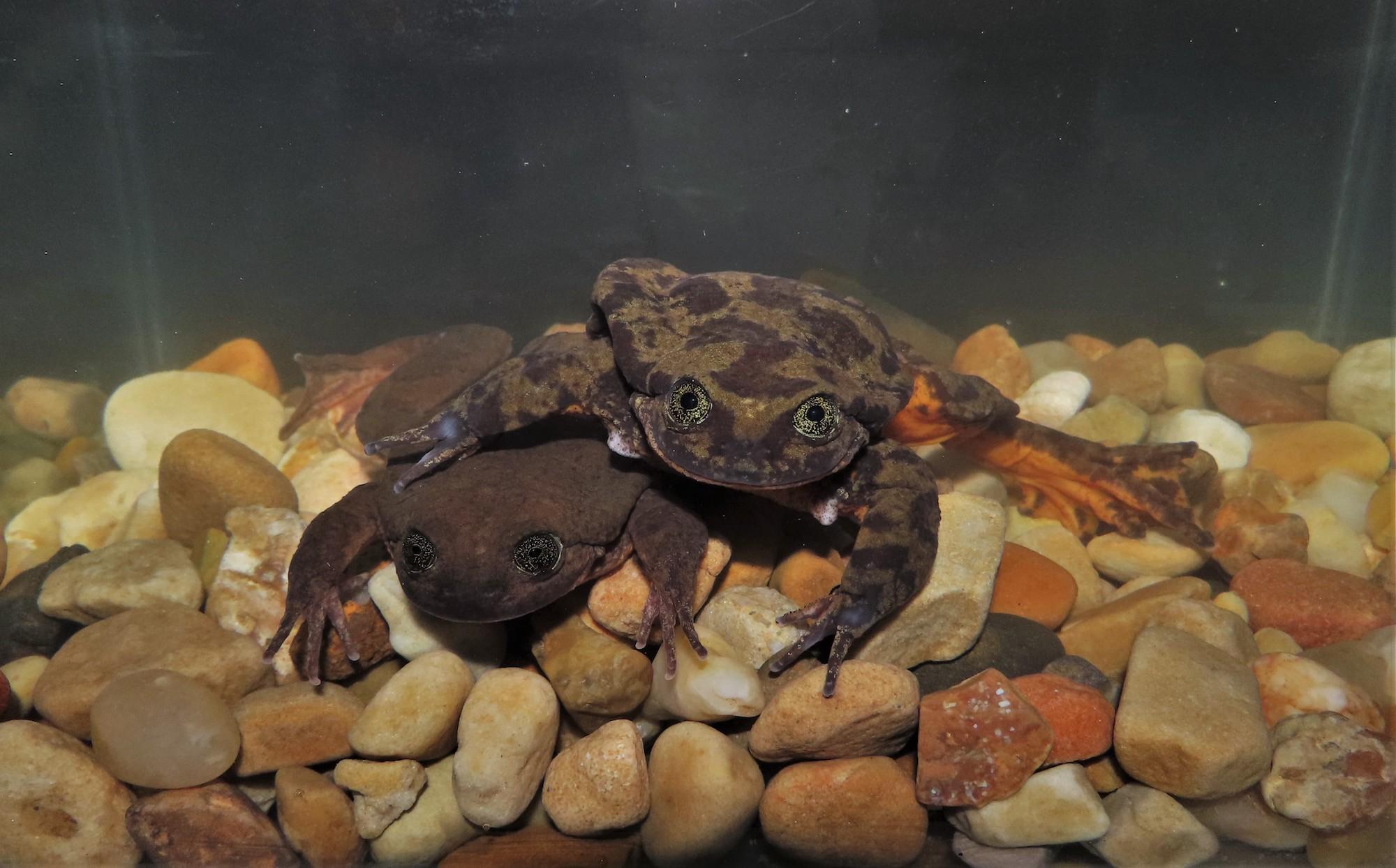 La pareja de ranas tuvo su primer encuentro en el acuario de Romeo. Foto: Sophia Barron.