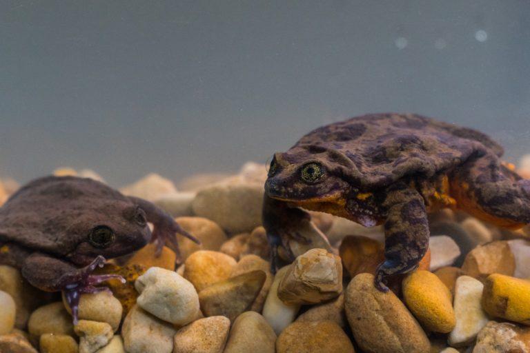 La primera cita de Romeo y Julieta generó gran expectativa entre sus seguidores. Foto: Global Wildlife Conservation.