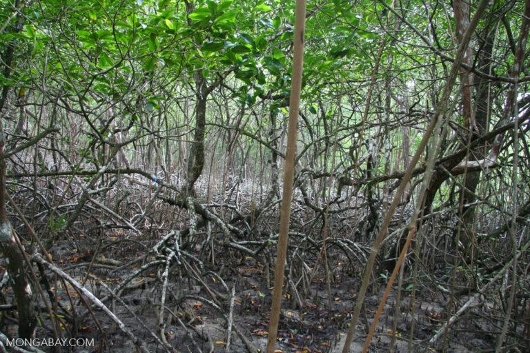 Un bosque de manglares en Panamá, uno de los países centroamericanos que se incluyeron en el informe. Imagen por Rhett A. Butler/Mongabay.
