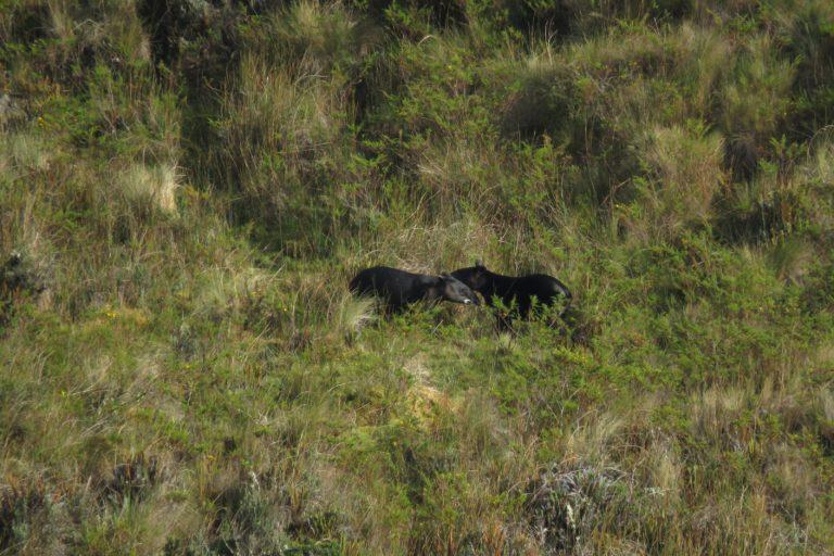 Registro del tapir de montaña en los páramos del volcán Chalupas. Foto: Francisco Villamarín.
