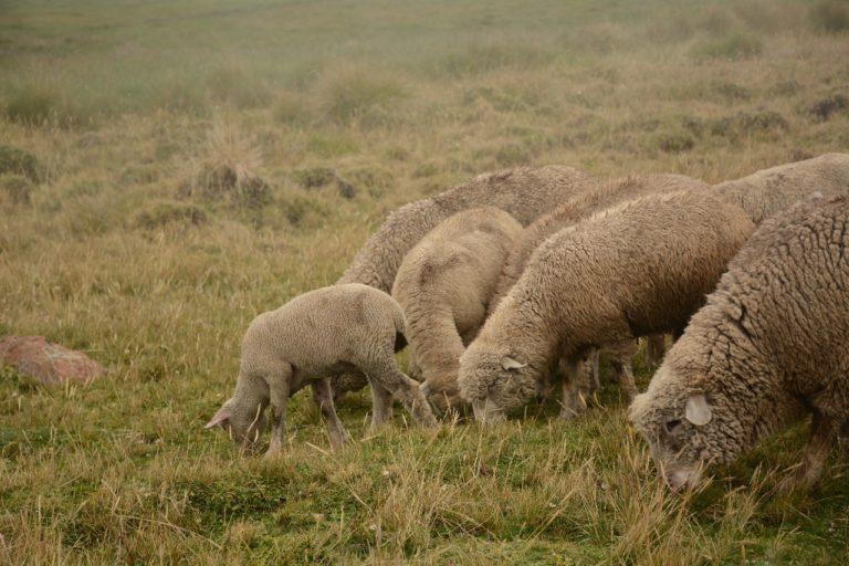 La compactación del suelo causada por vacas, ovejas y vicuñas distorsiona la regulación hídrica del páramo. Foto: Robert Hofstede.