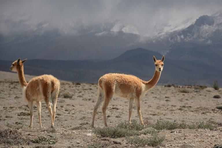 El objetivo de la introducción de la vicuña era utilizar su lana, pero no ha dado los frutos esperados. Foto: Robert Hofstede.