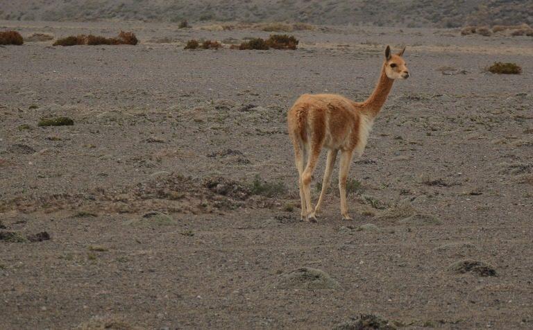 La vicuña se come la vegetación del páramo. Foto: Robert Hofstede.