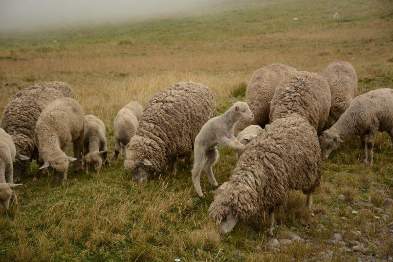 El ganado ovino es habitual en el Chimborazo. Foto: Robert Hofstede.