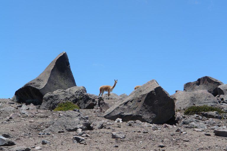 La vicuña ha sido introducida desde la década de los 70. Foto: Robert Hofstede.