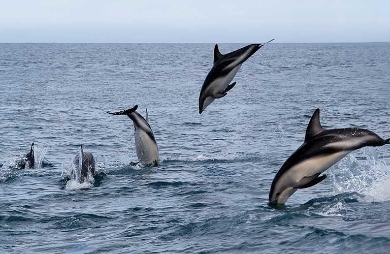 Entre los cetáceos con mayor riesgo de ser atrapados de forma accidental figuran el delfín común, el delfín oscuro, la marsopa espinosa y el delfín nariz de botella. Foto: Archivo