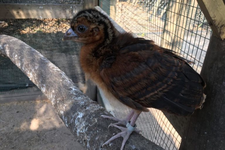 Se espera aumentar las poblaciones de paujil de pico azul en zoológicos y luego criar animales para su liberación Foto: Andrés Merizalde - Aviario Nacional.