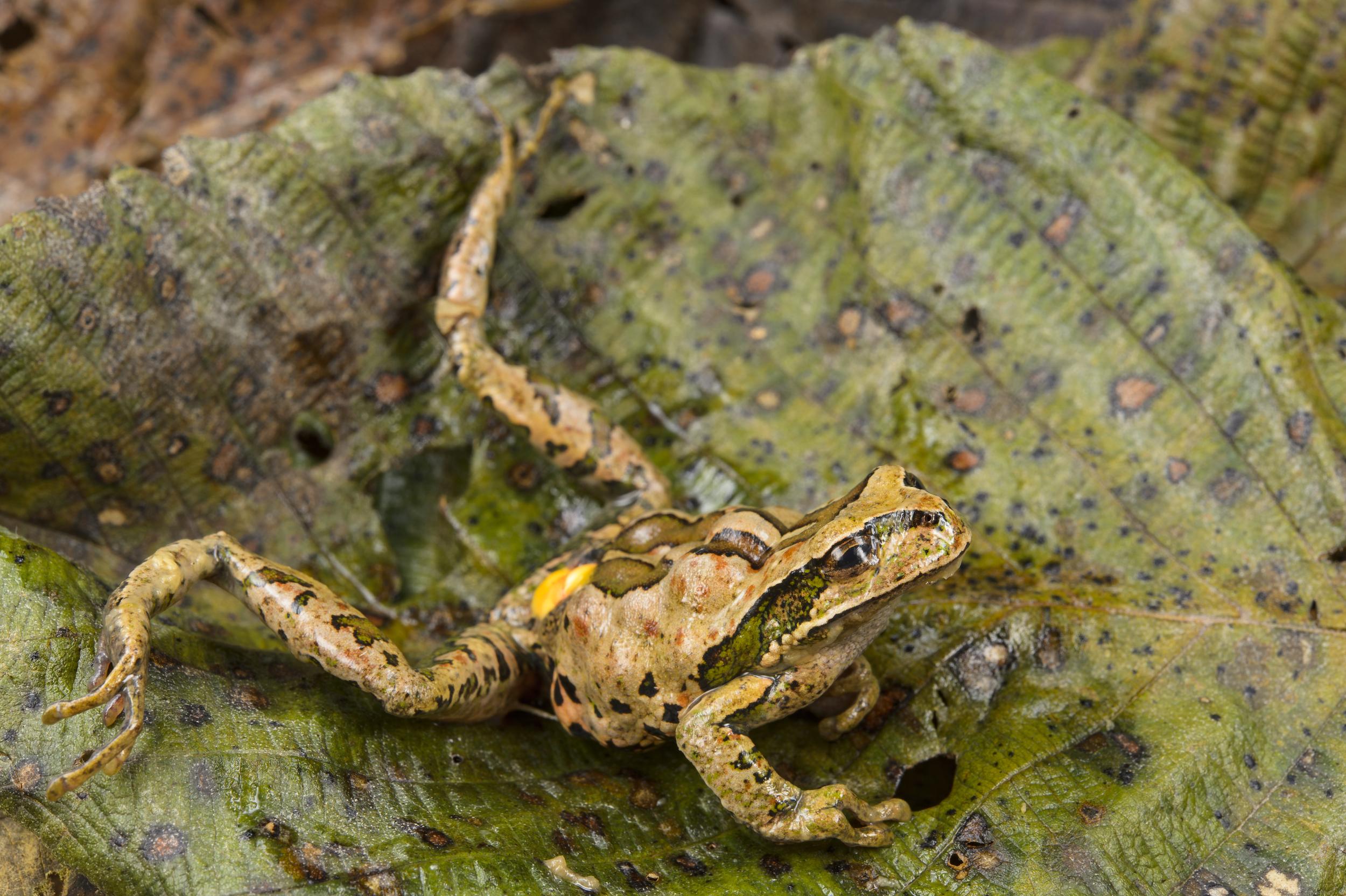 Una rana de la especie Gastrotheca excubitor en los Andes sufre un paro cardiaco debido a la presencia del hongo en su organismo. Foto: Emmanuele Biggi.