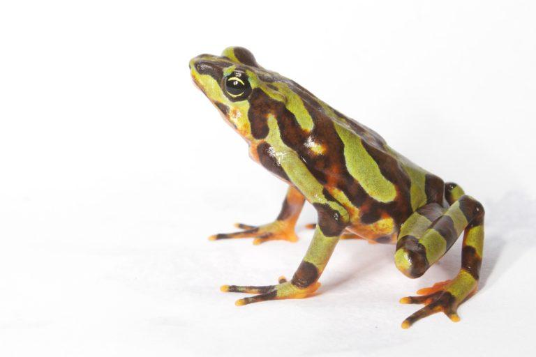 Los Atelopus o ranas arlequín han sido las especies más afectadas por el temible hongo. Foto: Brian Gratwicke.