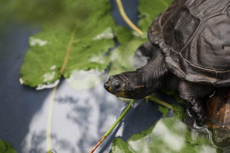 Muchas tortugas pueden transmitir salmonella y aún así son mascotas habituales para los niños. Foto: Instituto Distrital de Protección y Bienestar Animal.