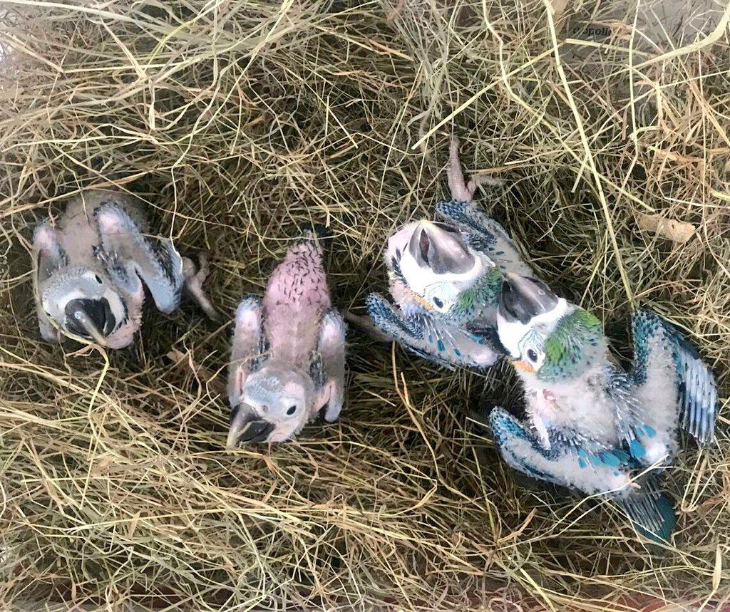 Polluelos de guacamayo azulamarillo provenientes del tráfico ilegal. Foto: Instituto Distrital de Protección y Bienestar Animal.