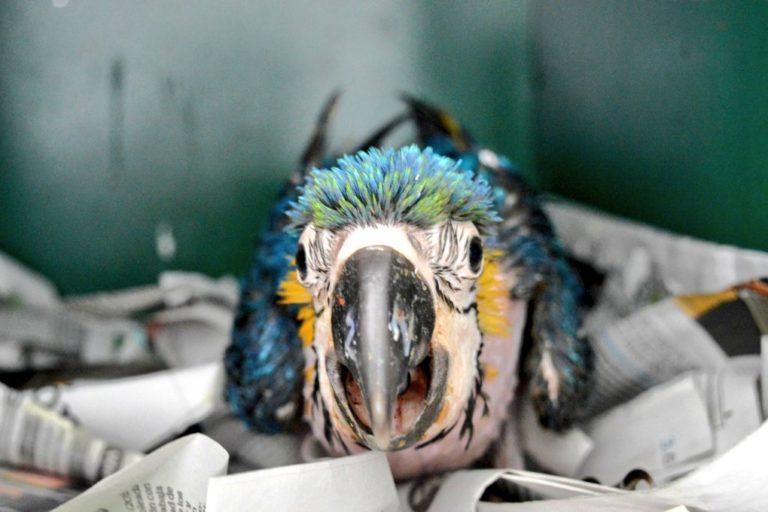 Polluelo de guacamayo azulamarrillo. Foto: Instituto Distrital de Protección y Bienestar Animal.