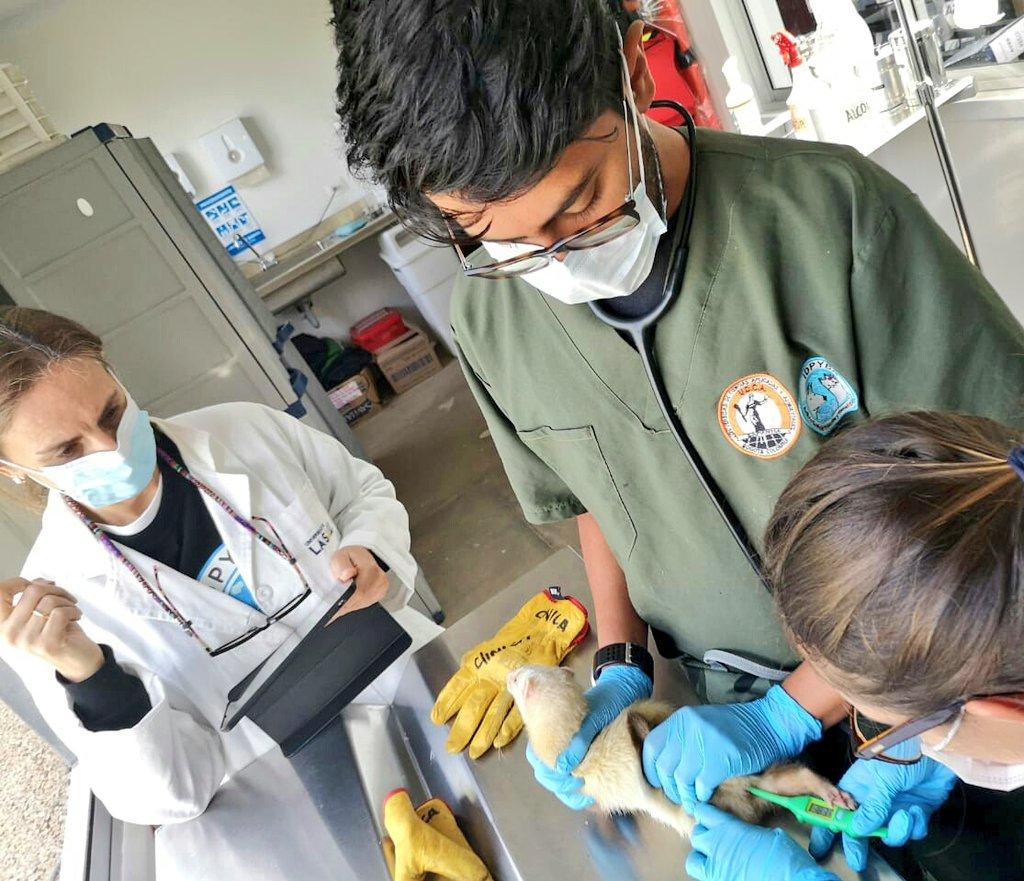 Intervención a un hurón (Mustela putorius furo) proveniente del tráfico en Venezuela. Foto: Instituto Distrital de Protección y Bienestar Animal.