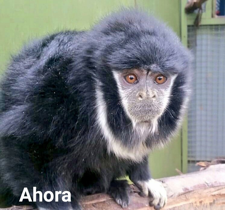 Tití de Collar(Cheracebus torquatus) Ahora. Foto: Instituto Distrital de Protección y Bienestar Animal.