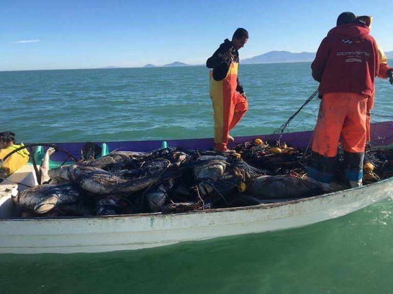 Pescadores con totoabas pescadas ilegalmente. Foto: Cortesía de Elephant Action League.