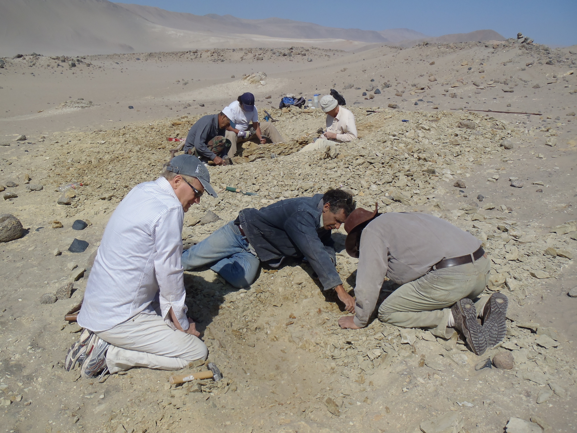 Photo of the excavation of the skeleton of Peregocetus, in Playa Media Luna. Photo by G. Bianucci.