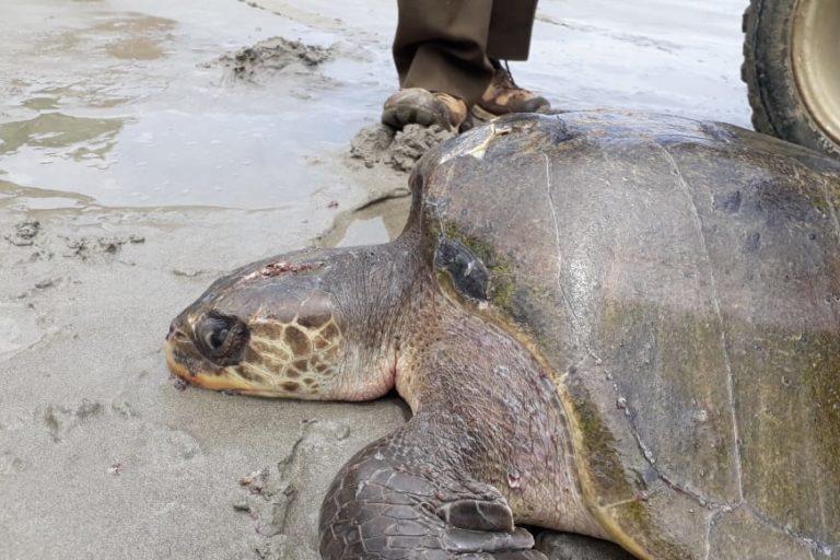 Tortuga con fractura en cráneo y caparazón. Foto: Centro de Rehabilitación de Fauna Marina del Parque Nacional Machalilla.
