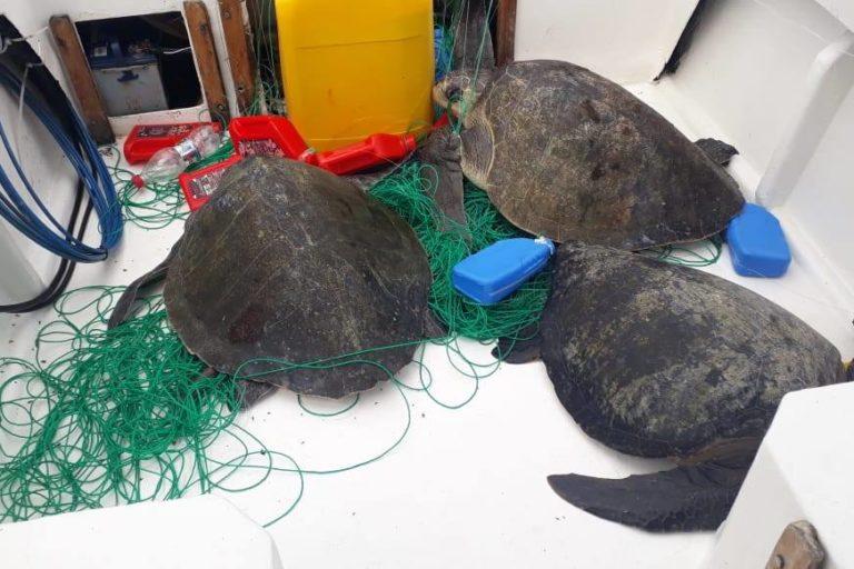 Tres tortugas que estaban atrapadas en un espinel a la deriva. Foto: Centro de Rehabilitación de Fauna Marina del Parque Nacional Machalilla.