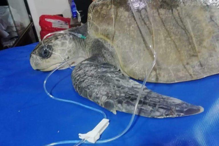 Tortuga en hidratación. Foto: Centro de Rehabilitación de Fauna Marina del Parque Nacional Machalilla.