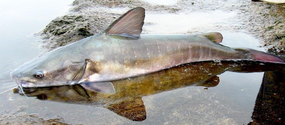 Uno de los peces descubiertos por los investigadores del Departamento de Ictiología de la UNMSM lleva el nombre de Ortega, el Chinchaysuyoa ortegai. Foto: R. Chira.