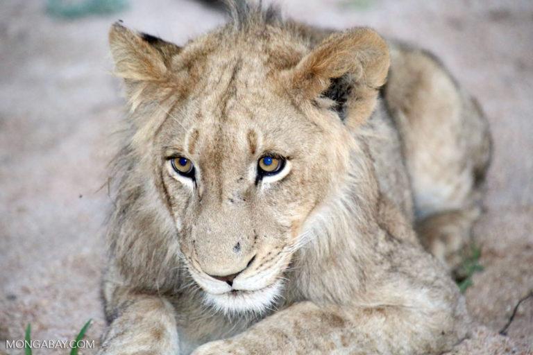 Un joven león (Panthera leo) en el Parque Nacional Kruger de Sudáfrica. Foto: Rhett A. Butler / Mongabay