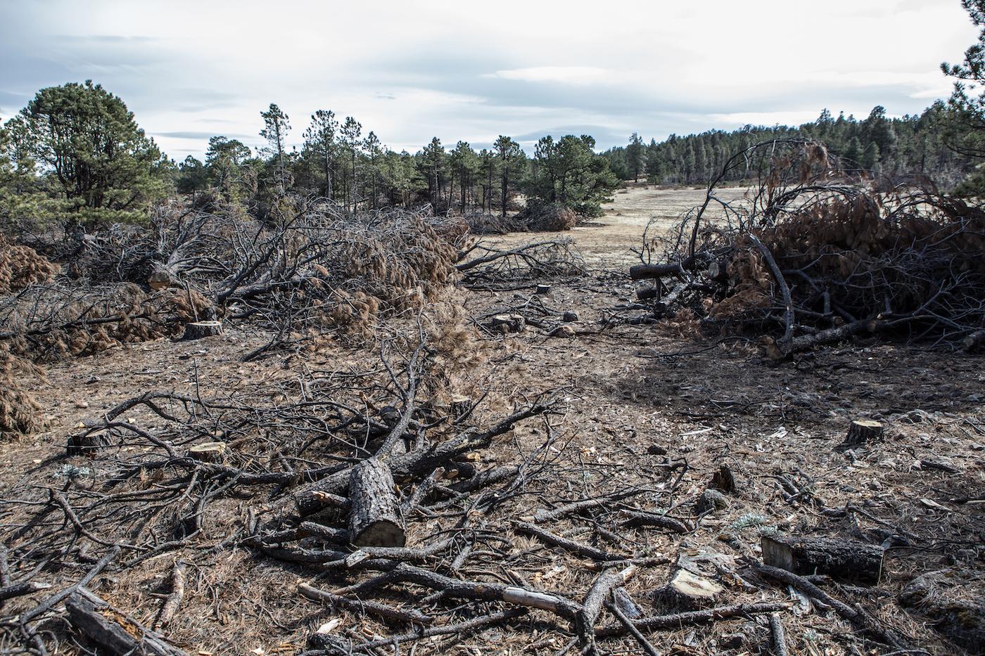 Árboles cortados son vistos en el Ejido de Panalachi, Comunidad de Bahuinocachi en la Sierra Madre Occidental, Estado de Chihuahua, México. Foto: Ginnette Riquelme.