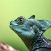 Un basilisco verde o basilisco de doble cresta. Foto: Rhett A. Butler / Mongabay